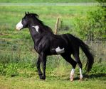 black overo stallion 3 by venomxbaby