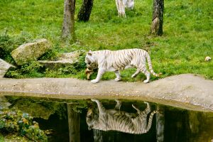 white tiger 2 by archaeopteryx-stocks