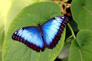 Peleides Blue Morpho by TheSleepyRabbit