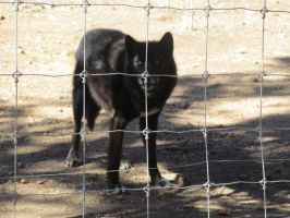 Colorado Wolf and Wildlife Center_31 by LumiTheWolf
