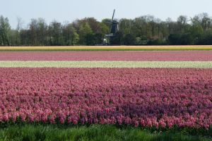 Tulip and Mill by picture-melanie