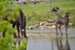 Black Horses in creek by lamorth-the-seeker