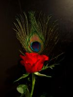 Peacock Feather Rose by H9Stock