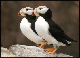 Pair Horned Puffins by hellsbella