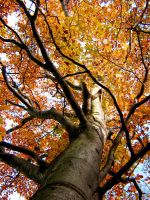 autumn tree by Isisnofret