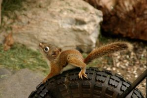 Baby Squirrel  6 by MichelLalonde
