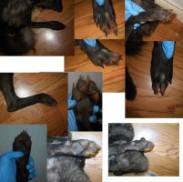 coyote paw ref by CreatureUndertaker