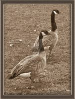 Canadian Geese by DikDanger
