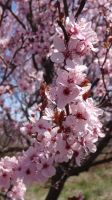 Spring Blossoms Stock 2 by Ox3ArtStock