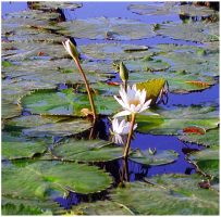 White water lily by carepa