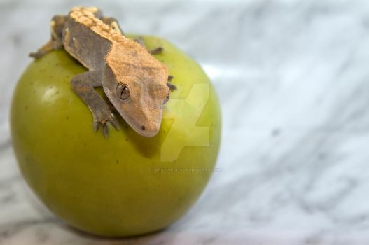 Latest Addition - O-Harlequin Crested Gecko - 5099 by creative1978