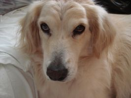 Photo of My Dog, Cassi by Aphrium