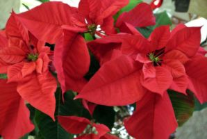 Poinsettia by Barefootingmindfully