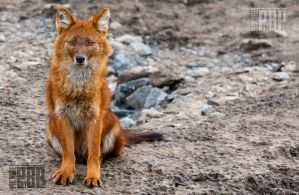 The Red Dhole by PictureByPali