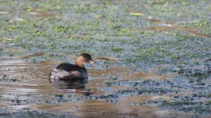 little grebe by elliemoo