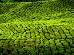 Cameron highlands, Malaysia by worldpitou