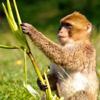 Barbary Macaque by Yslen