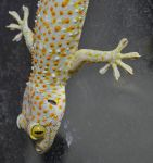 My tokay gecko by E-Dowely