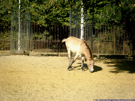 Przewalski's Horse by Cansounofargentina