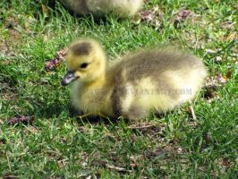 Goose Chick by Pawz2142