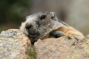 Marmot 02 by kingnilo