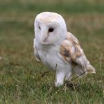 Owl 01 by LydiardWildlife
