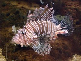 Lion Fish by djeaton3162