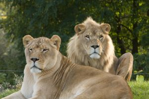 Lions by BonsEYE