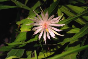 Night blooming cereus by 77Kura