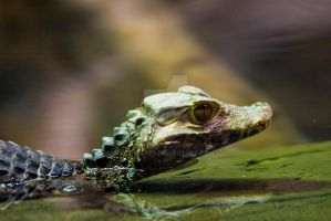 Caiman by kmwatts