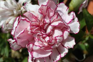 carnation by tap69