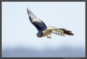 Male Northern Harrier by kootenayphotos
