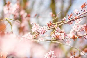 Cherry blossoms by Pamba