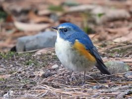 Red-flanked bluetail 1(male) by KumaBokko