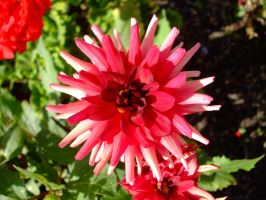 Red Dahlia by Anemya-Stock