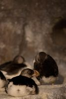 Stl Zoo : Baby Puffins by Katastrophey