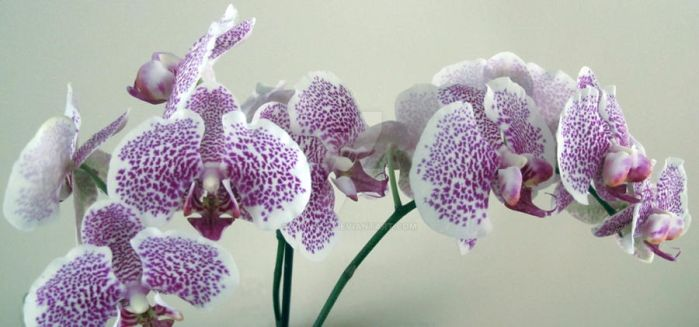 Winter Orchid by Nariane