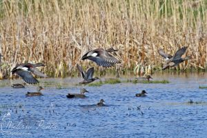 Gadwall Flight by mydigitalmind