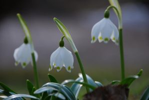 Galanthus by elscotto