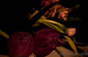 Violet Tulips - Day 79 - 20/03/13. by oEmmanuele