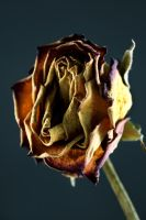 Dead  Rose 3 by 611productions