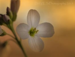 Beauty by Davils-Photography