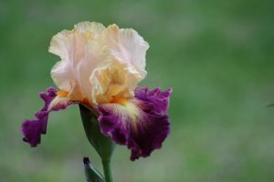 Iris Afternoon 1 by Dellessanna