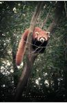 Red Panda by geckokid