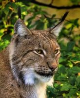 Lynx by pingallery