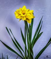 Yellow Daffodil Against White HDR by mjohanson