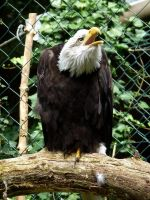 Bald Eagle by Aewendil