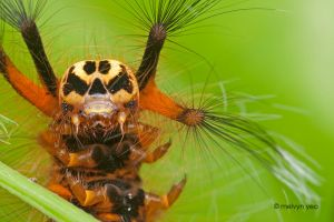 Skull Faced Caterpillar by melvynyeo
