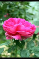 rose05 by B-Alsha3er