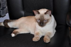 Robriel-Stock Siamese Cat 12 by Robriel-Stock